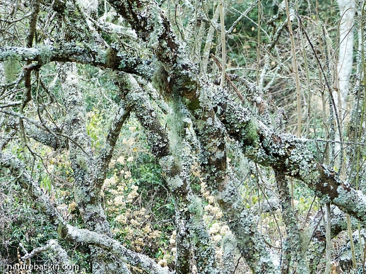 Lichens growing on trees in Mistbelt Forest in KwaZulu-Natal Midlands