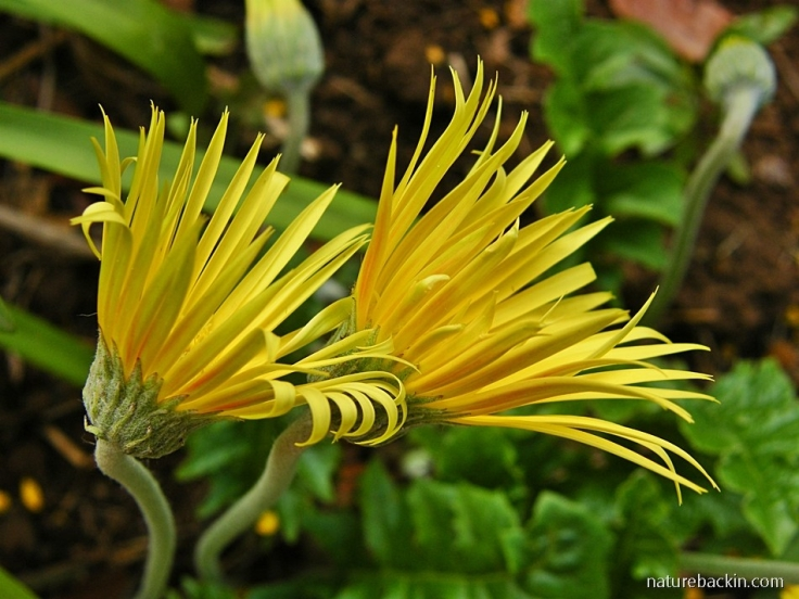 Yellow flowering Gerbera species, South Africa