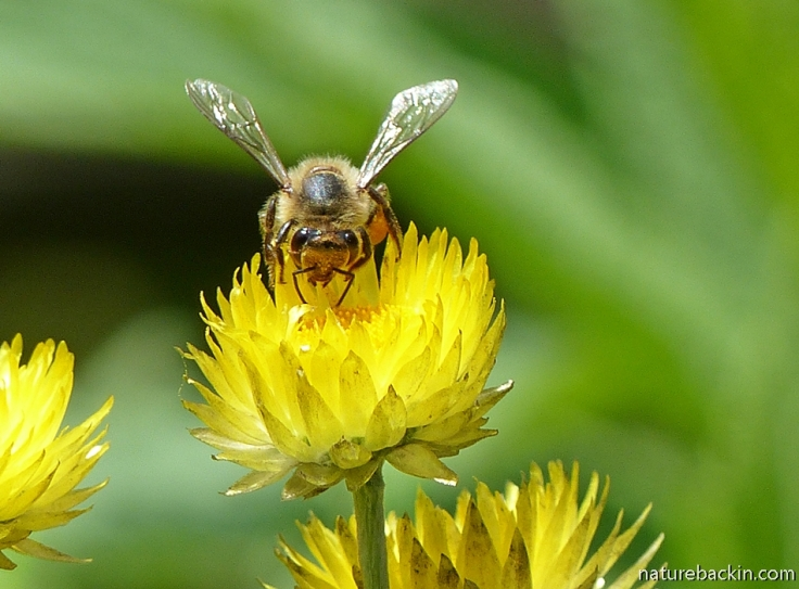 Bee pollinating flower of the yellow or golden Everlasting