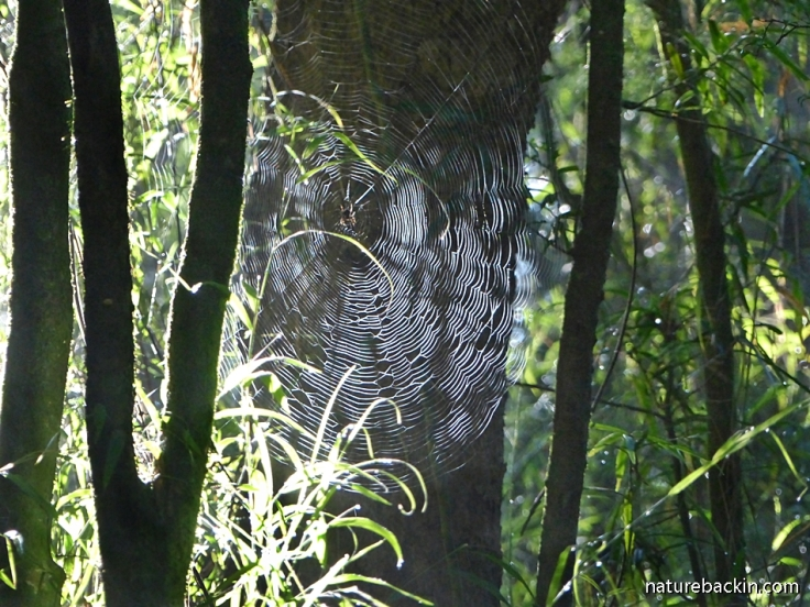 Sun shining through spider web in indigenous forest, KwaZulu-Natal