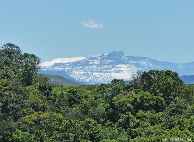 Snow-covered GIant's Castle, Drakensberg mountains KwaZulu-Natal, taken from mistbelt forest