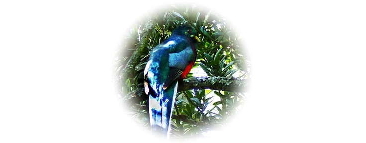 Colourful forest bird, the Narina Trogon