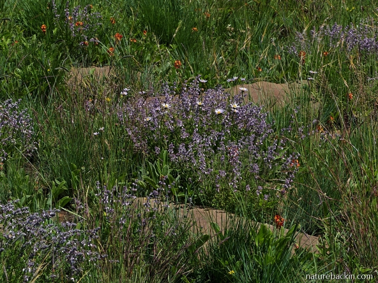 Summer wildflowers in grassland, KwaZulu-Natal