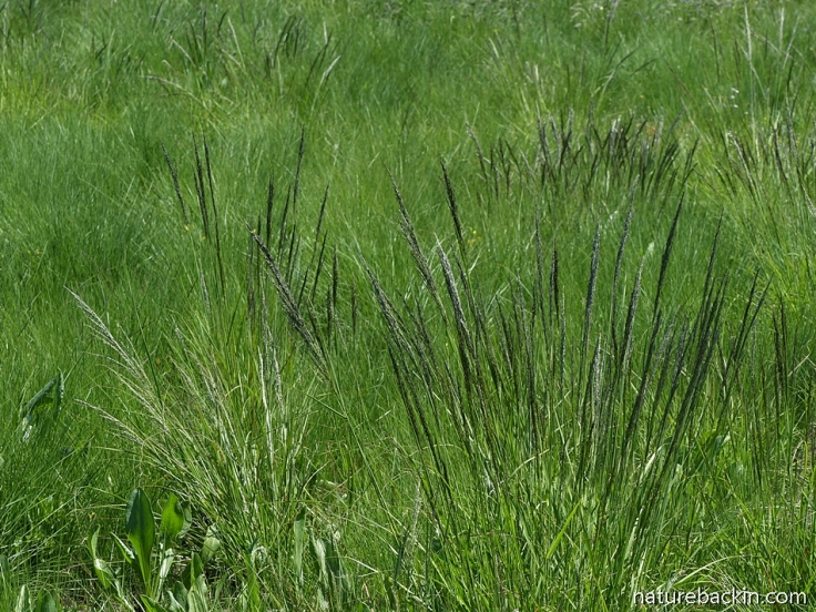 Wild grasses South Africa