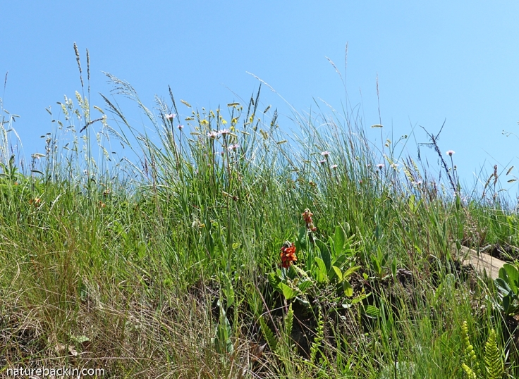 Wild flowers in mistbelt grassland, South Africa