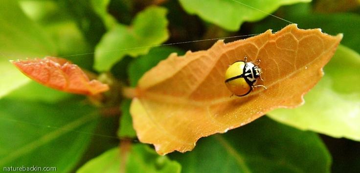 Black-ringed Ladybird, South Africa