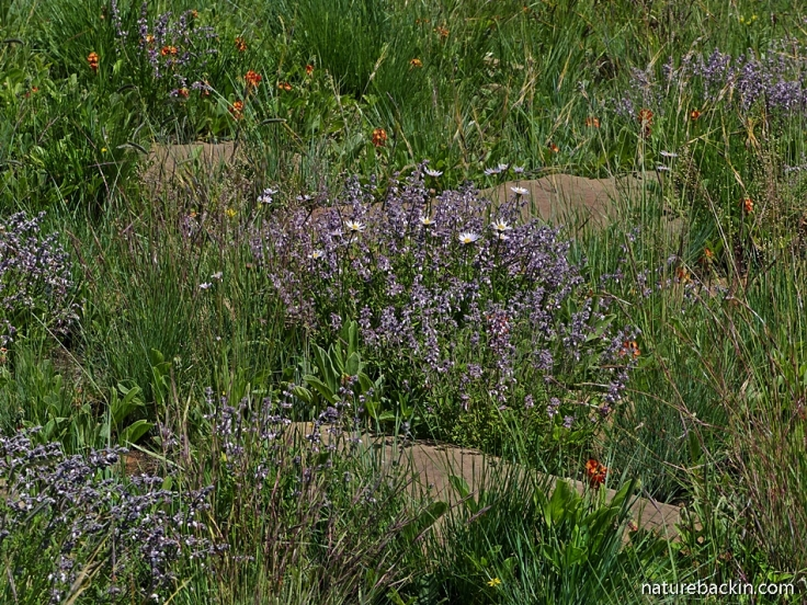 Wild flowers in summer grassland, South Africa