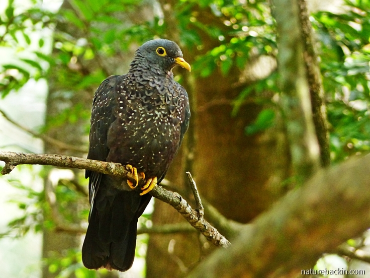 African Olive Pigeon - Rameron - perching in a tree in wildlife-friendly garden