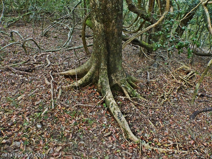 Forest tree trunk and roots, South Africa indigenous forest