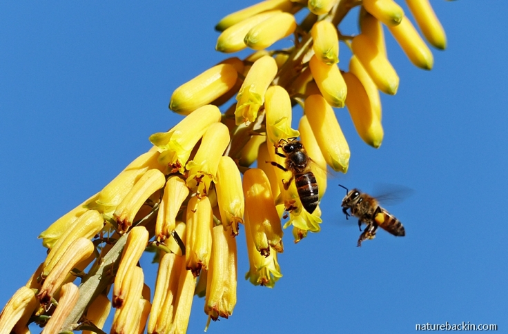 Honeybees visiting flowers of a fence aloe