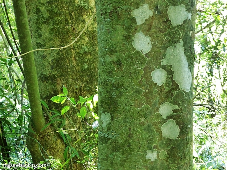 Lichen and bark on trunk of mistbelt forest tree, KwaZulu-Natal