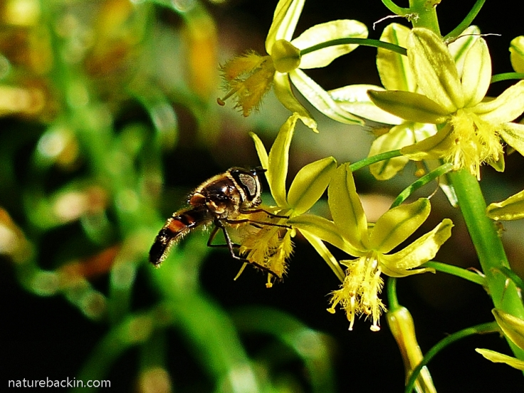 Hoverfly visiting flower of the Bulbine frutescens