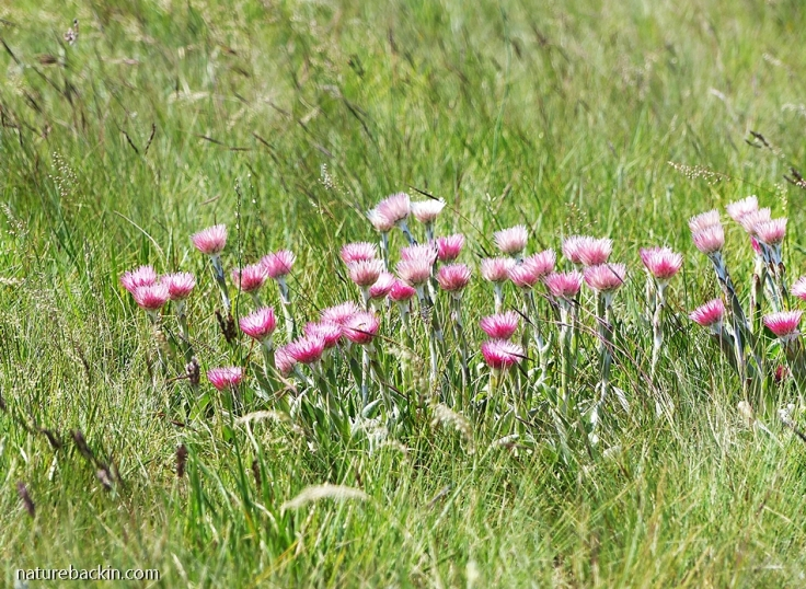 Pink Everlastings in mistbelt grassland