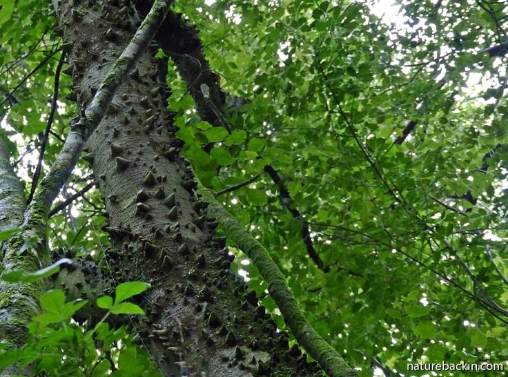 Trunk of the Forest Knobwood tree, KwaZulu-Natal mistbelt forest