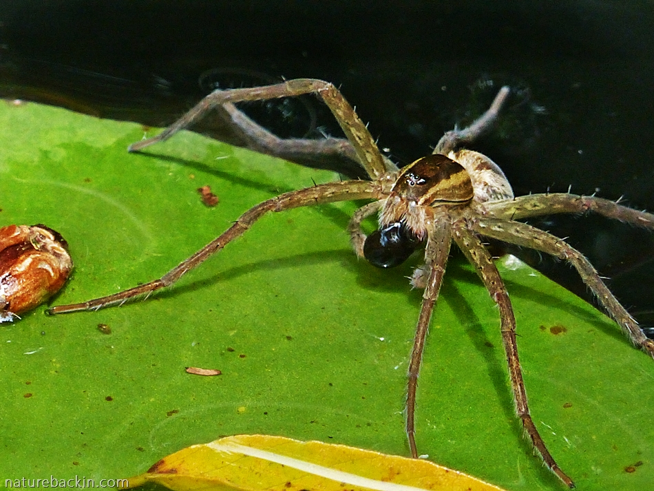 Fishing Spider Catching Tadpoles In The Garden Pond Letting Nature Back In