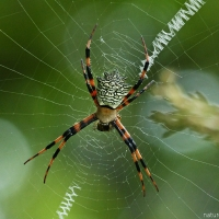 Ornately elegant engineer: Garden orb-weaving spider