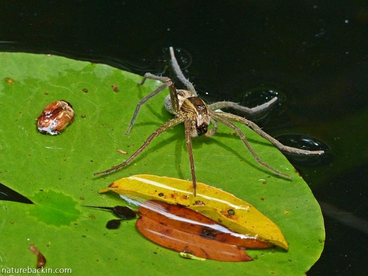 Fishing spider eating tadpoles in garden pond, KwaZulu-Natal