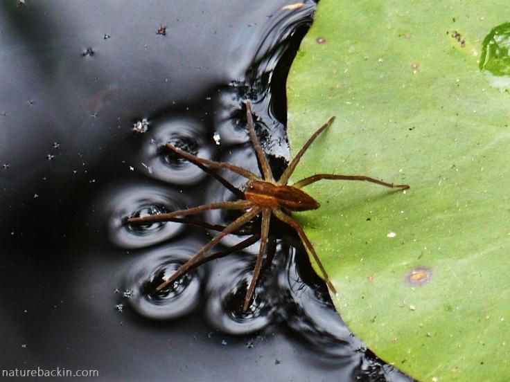 Fishing spider on surface of water, KwaZulu-Natal