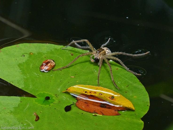 Fishing spider hunting tadpoles