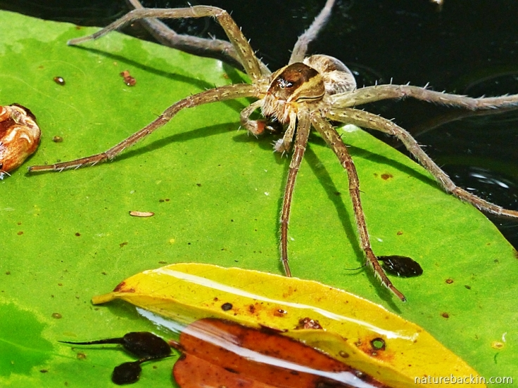 Fishing spider in garden pond catching and eating tadpoles