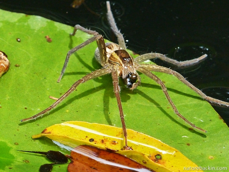 Fishing spider catching tadpoles
