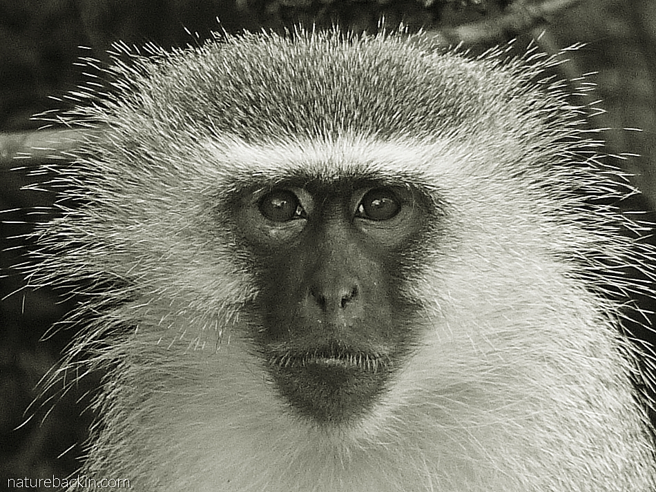Close-up portrait of a Vervet Monkey, South Africa