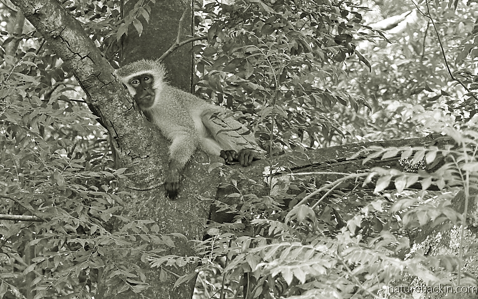 Vervet Monkey resting in a tree in a suburban garden, KwaZulu-Natal.