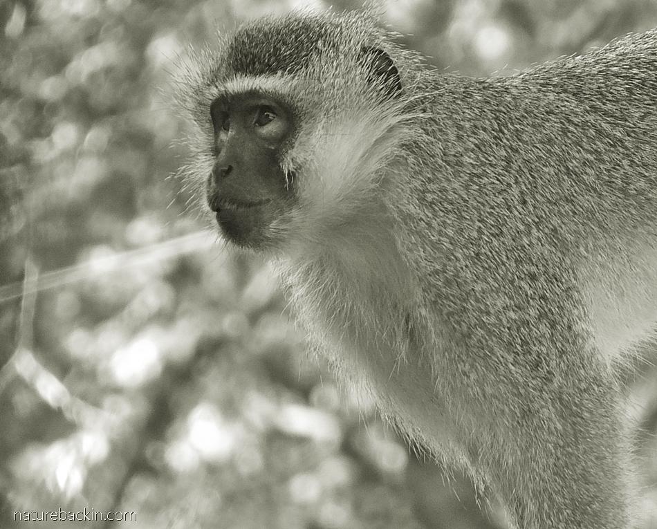 Adult Vervet Monkey, KwaZulu-Natal garden