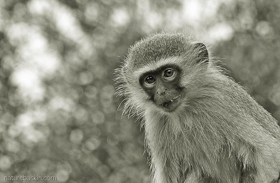 Juvenile Vervet Monkey in a suburban garden, KwaZulu-Natal