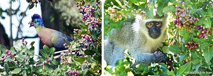 Purple-crested Turaco and Vervet Monkey eating the fruit of an Umdoni tree