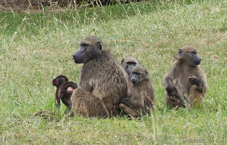 Chacma baboon with baby and juveniles, South Africa
