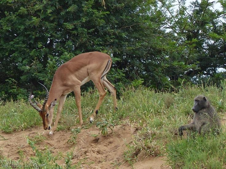 Grazing impala and chacma baboon, iMfolozi Park