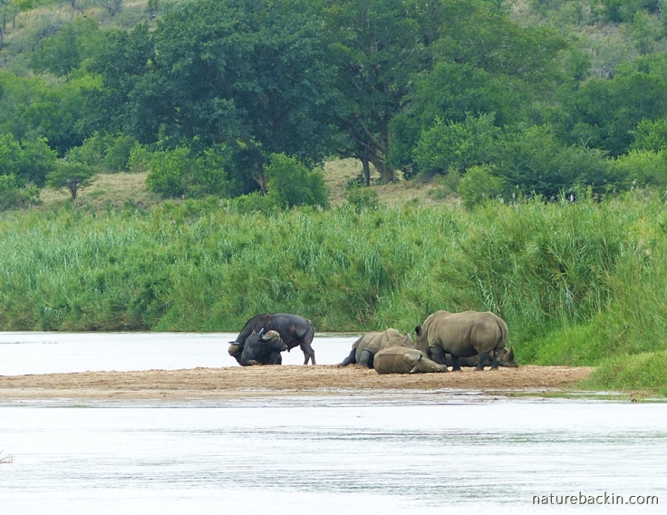 White rhino and buffalo on a river sandbank