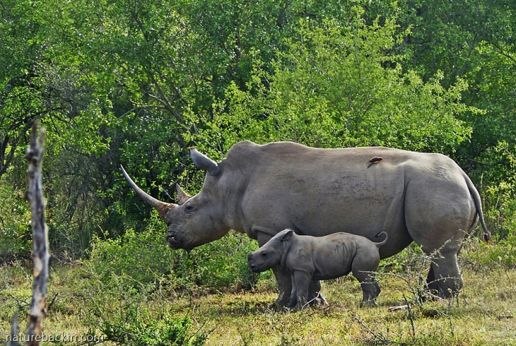 Female white rhino with young calf, Hluhluwe-iMfolozi Park