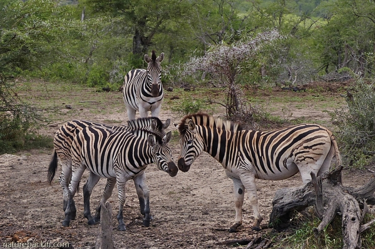 Zebras greeting at waterhole, Hluhluwe-iMfolozi Park