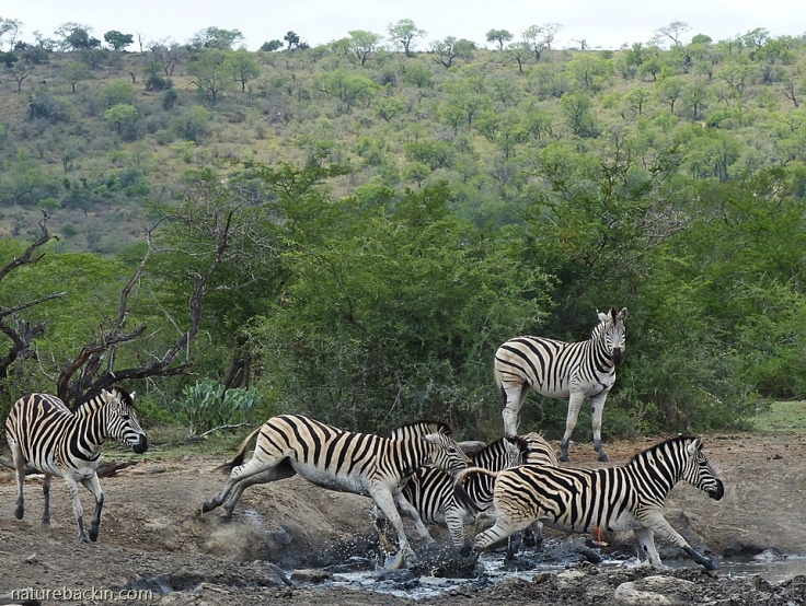 Zebras chasing each other at waterhole, KwaZulu-Natal