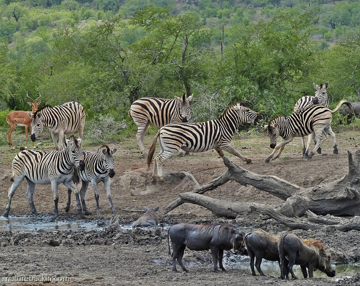 Zebra, warthog and impala at waterhole, Hluhluwe-iMfolozi Park
