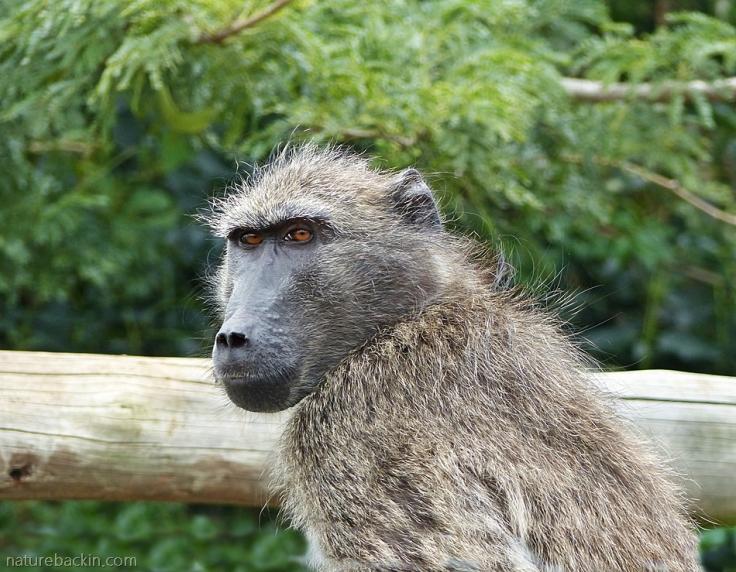 Female chacma baboon, iMfolozi Park