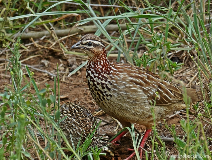Crested francolin guarding chicks.