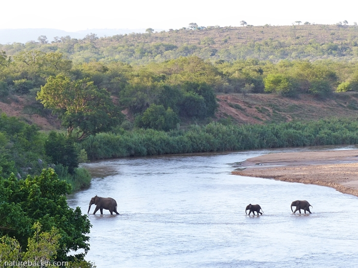 Elephant and juveniles crossing the Black iMfolozi River