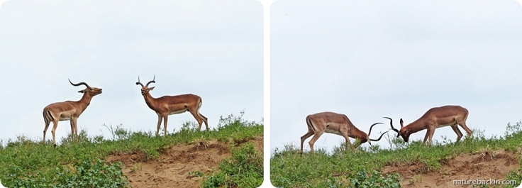 Sparring impala rams