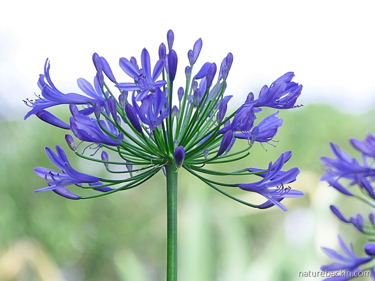 Agapanthus praecox in full bloom