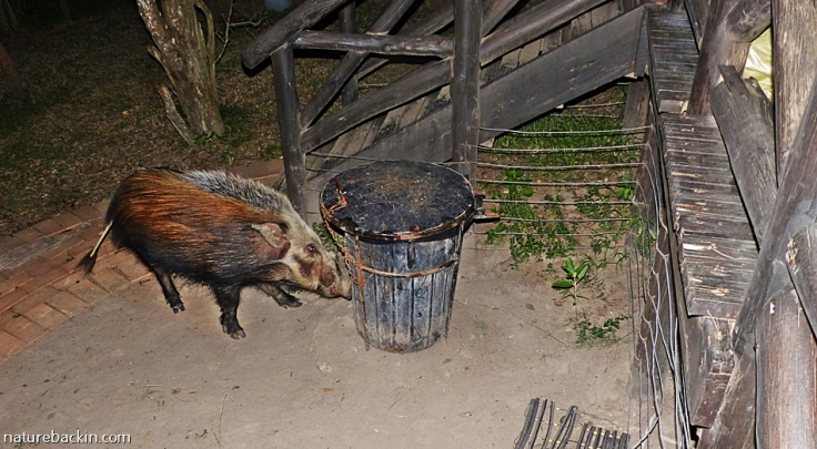 Male bushpig investigaging rubbish bin, Mpila rest camp safari tent