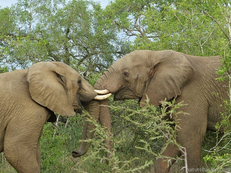 A pair of sparring male elephants, iMfolozi Park, South Africa