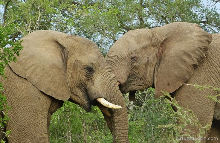 Friendly rivalry between young elephants