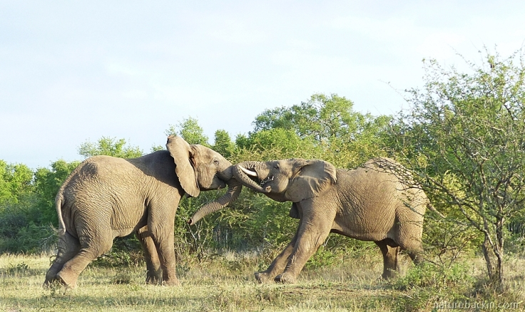 A pair of male elephants pushing and shoving while sparring