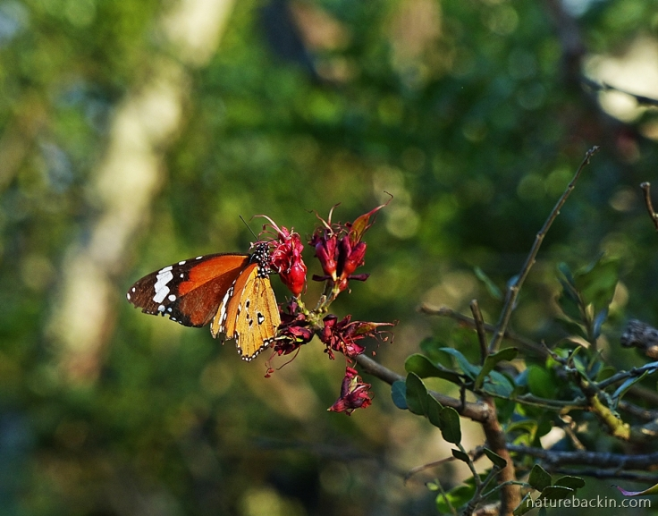 African monarch butterfly feeding from flower