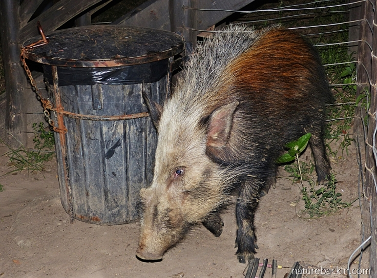 Male bushpig at dustbin at tented camp, iMfolozi rest camp