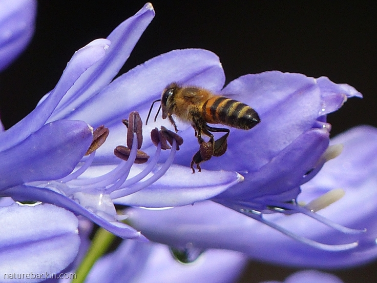 Honeybee seeking nectar at agapanthus flower