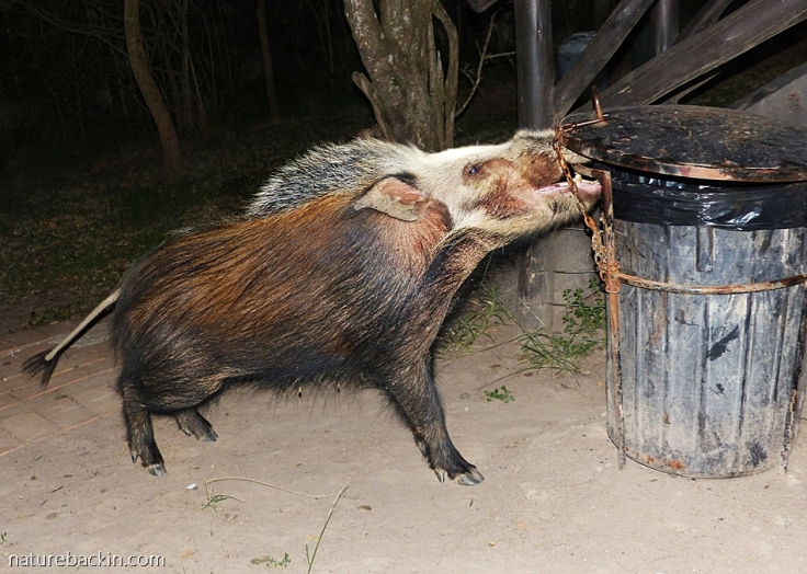 Bushpig trying to open rubbish bin, tented camp Mpila, iMfolozi Park